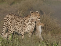 Cheetah with Hare by Sally Turner