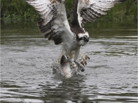 Osprey with Catch by John Hunt
