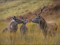 Red deer Family Glen Etive by Swales Parry