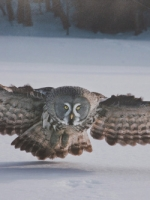 Great grey Owl Hunting for Voles