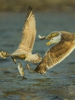 Great Black Backed Gull Michael Windle ARPS