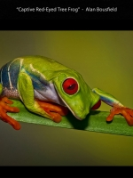DI_DNAT_01_ACPT_Accepted_Bousfield_Alan__Eastbourne Photographic Society_2242_Captive Red-Eyed Tree Frog.jpg