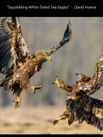 DI_DNAT_01_ACPT_Accepted_Howse_David__Battle Photographic Society_602_Squabbling White-Tailed Sea Eagles.jpg