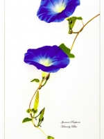 Morning Glory by June Hill LRPS CPAGB BPE2*