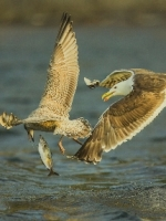 Great Black Backed Gull by  Michael Windle