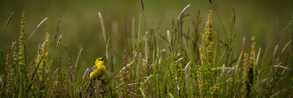 Yellow Wagtail Singing by Jason Boswell  Entry in PDI Nature 2015 Exhibition